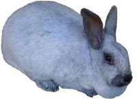 Champahne Rabbit