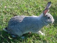 American Chinchilla Rabbit