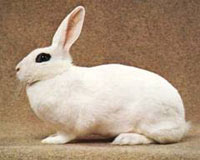 Hotol Rabbit