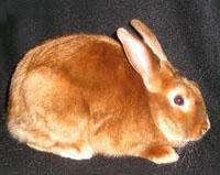 Satin Rabbit BreedsRed Mini Satin Rabbit