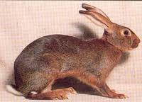 Belgian Hare Rabbit