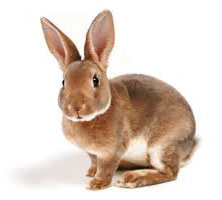 Rabbit Breed for Pet